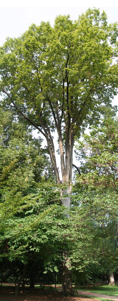 Vanderbilt's largest September elm near Benson Hall