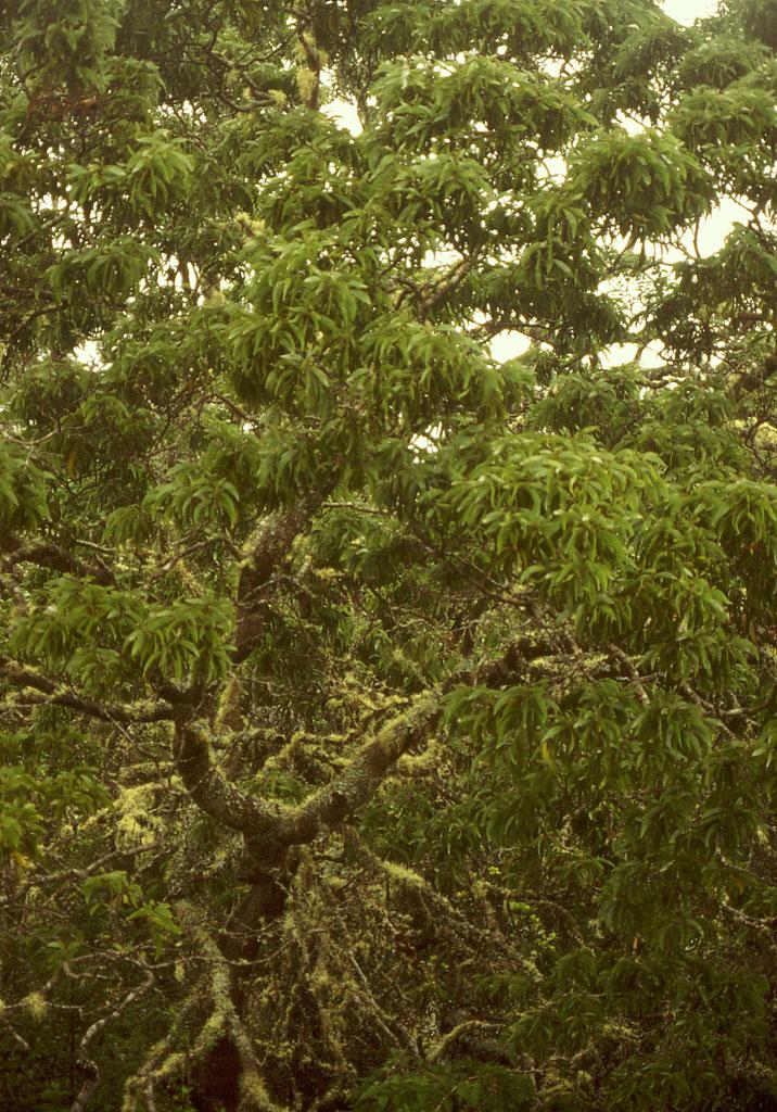 Acacia koa image