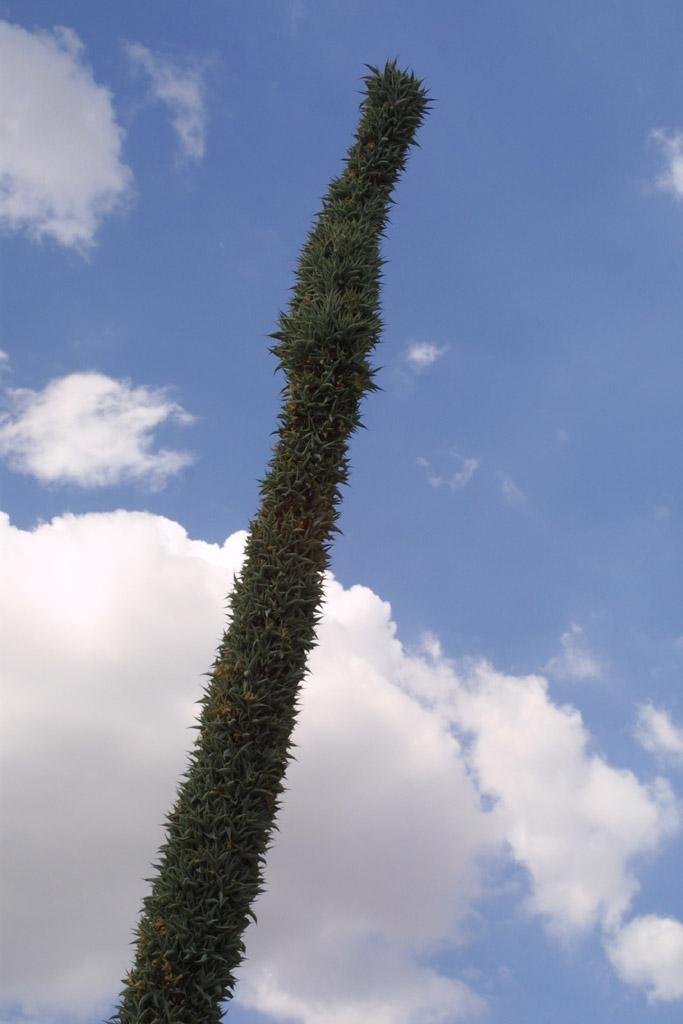 Agave mayoensis image