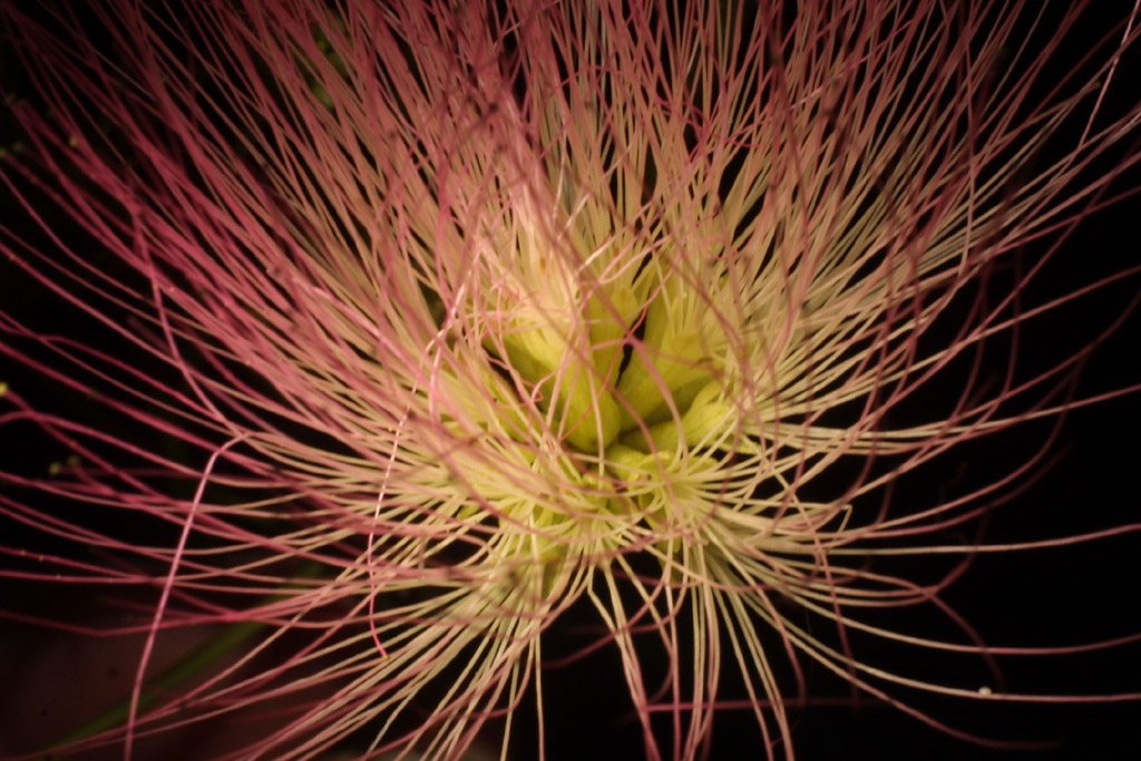 Image of Albizia julibrissin