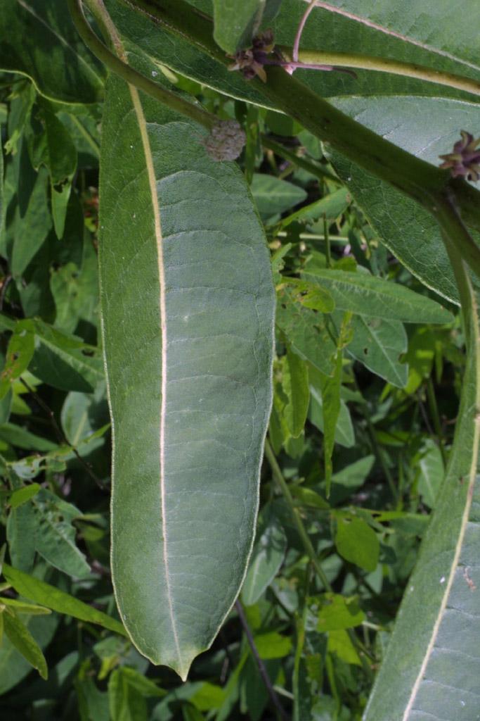Asclepias kansana image