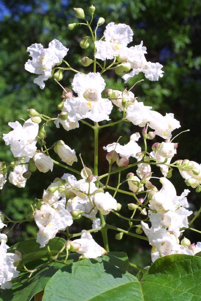 Image of Catalpa speciosa