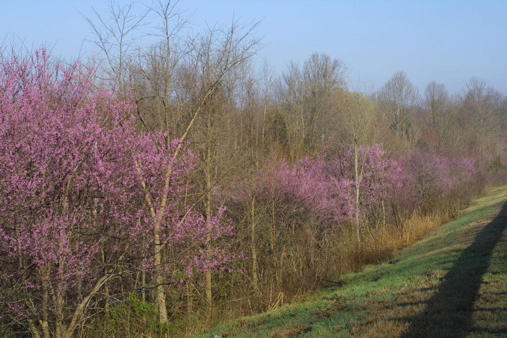Image of Cercis canadensis
