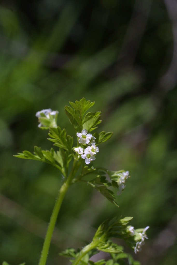Image of Chaerophyllum tainturieri