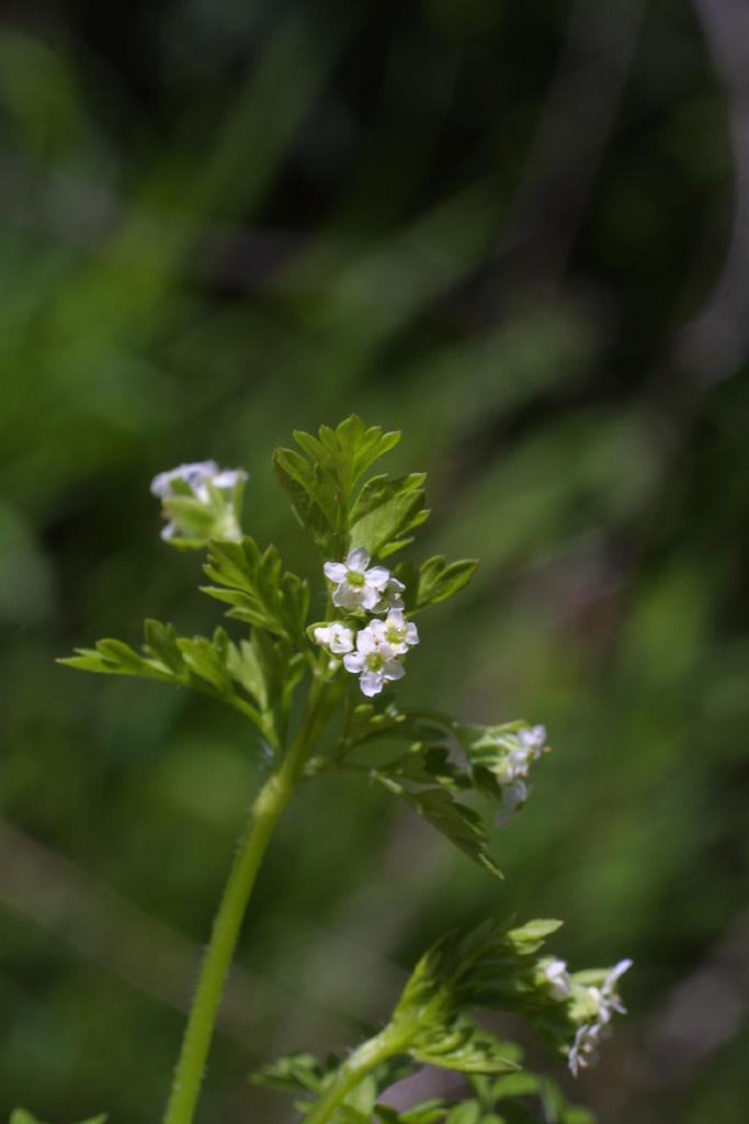 Chaerophyllum image
