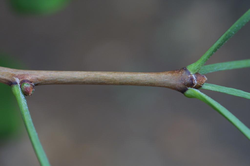 Ginkgo biloba image