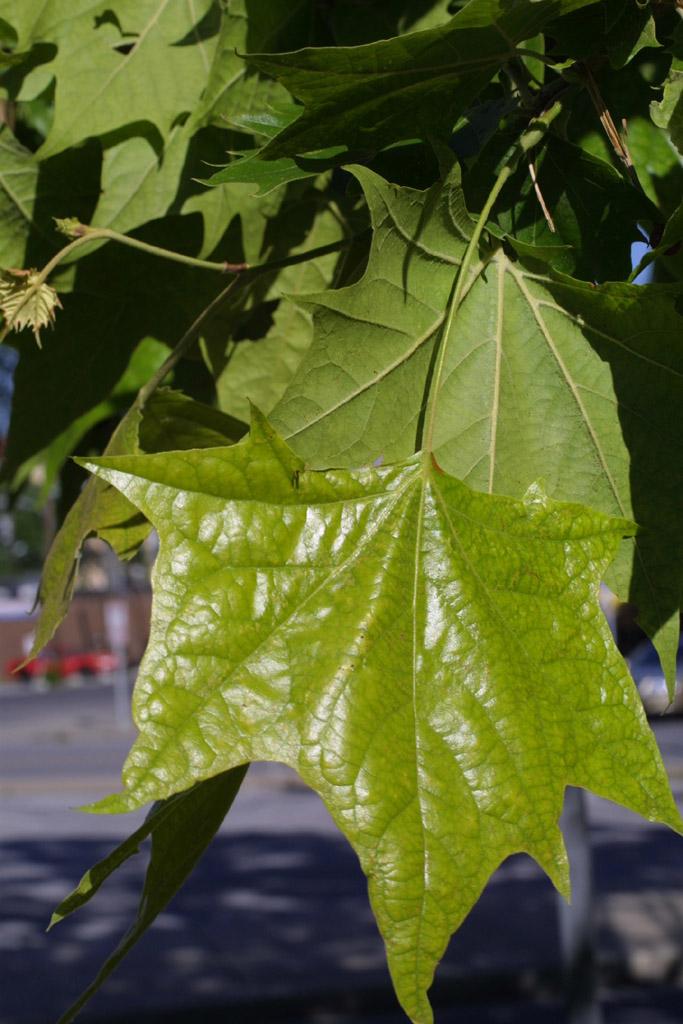 Platanus occidentalis (Platanaceae) - leaf - whole upper ... Platanus Occidentalis Leaf