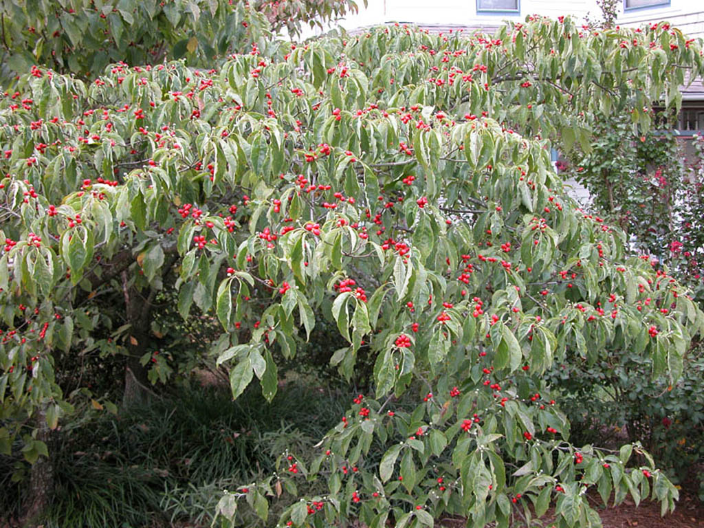 cornus florida cornaceae whole tree or vine general. Black Bedroom Furniture Sets. Home Design Ideas
