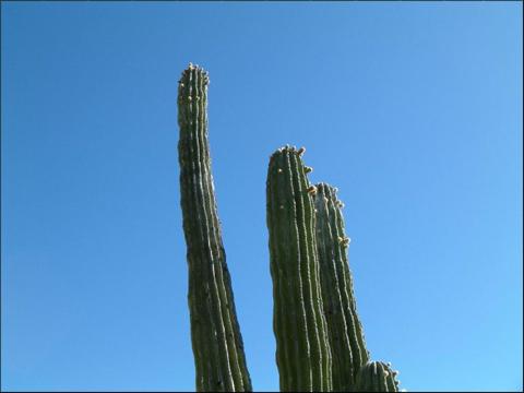 Image http://bioimages.vanderbilt.edu/lq/andersonwb/wpachy4wplook-up102wa310.jpg