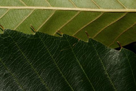 Image http://bioimages.vanderbilt.edu/lq/baskauf/w55688.jpg