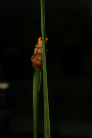 Image http://bioimages.vanderbilt.edu/lq/baskauf/w66815.JPG