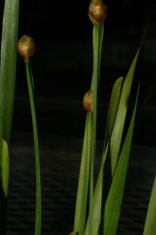 Image http://bioimages.vanderbilt.edu/lq/baskauf/w66825.JPG