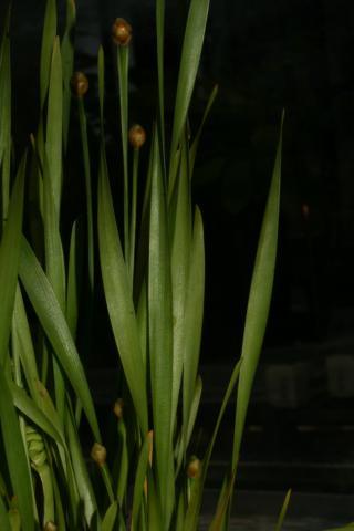 Image http://bioimages.vanderbilt.edu/lq/baskauf/w66826.JPG