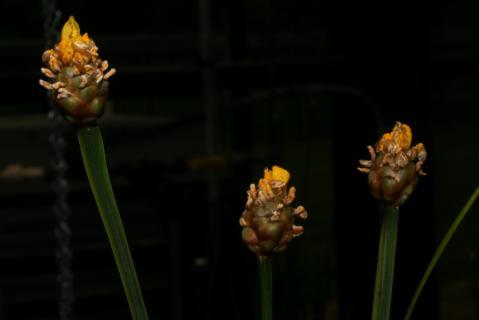 Image http://bioimages.vanderbilt.edu/lq/baskauf/w66829.JPG