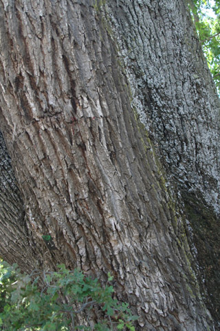 Image http://bioimages.vanderbilt.edu/lq/baskauf/w66925.jpg
