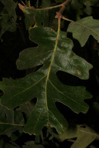Image http://bioimages.vanderbilt.edu/lq/baskauf/w66974.jpg
