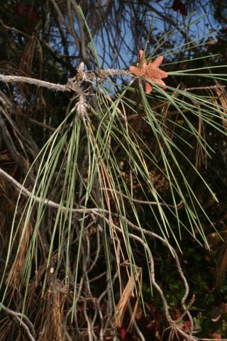 Image http://bioimages.vanderbilt.edu/lq/baskauf/w67019.jpg