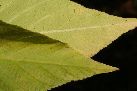 Image http://bioimages.vanderbilt.edu/lq/baskauf/w67055.jpg