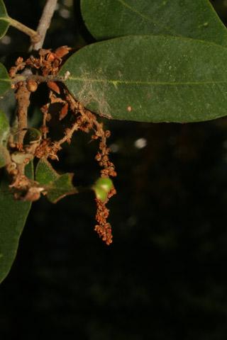 Image http://bioimages.vanderbilt.edu/lq/baskauf/w67286.jpg