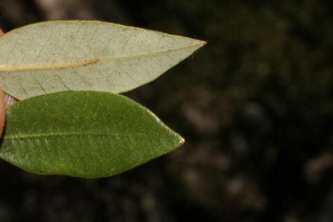Image http://bioimages.vanderbilt.edu/lq/baskauf/w67295.jpg