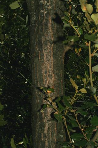 Image http://bioimages.vanderbilt.edu/lq/baskauf/w67310.jpg