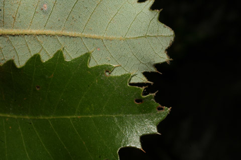 Image http://bioimages.vanderbilt.edu/lq/baskauf/w67434.jpg
