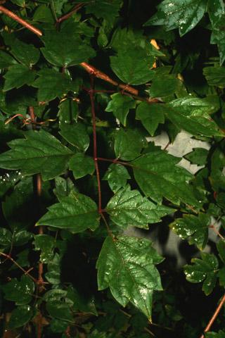Image http://bioimages.vanderbilt.edu/lq/baskauf/w70861.jpg