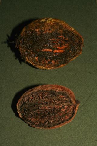 Image http://bioimages.vanderbilt.edu/lq/baskauf/w70870.jpg