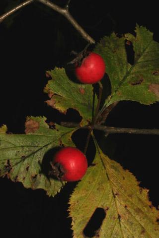 Image http://bioimages.vanderbilt.edu/lq/baskauf/w70911.jpg