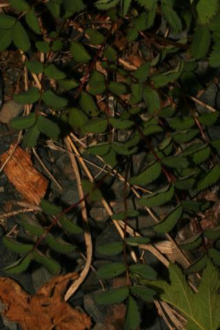 Image http://bioimages.vanderbilt.edu/lq/baskauf/w74777.jpg