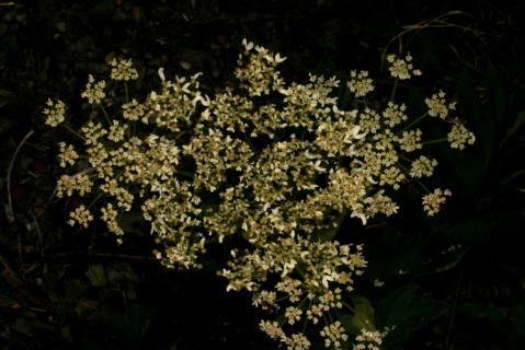 Image http://bioimages.vanderbilt.edu/lq/baskauf/w74784.jpg