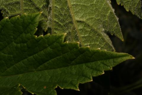 Image http://bioimages.vanderbilt.edu/lq/baskauf/w74790.jpg
