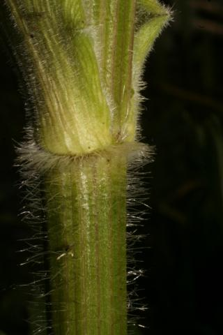 Image http://bioimages.vanderbilt.edu/lq/baskauf/w74791.jpg