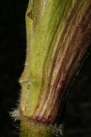 Image http://bioimages.vanderbilt.edu/lq/baskauf/w74792.jpg