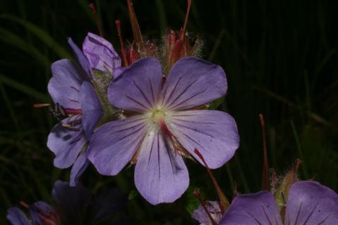 Image http://bioimages.vanderbilt.edu/lq/baskauf/w74836.jpg