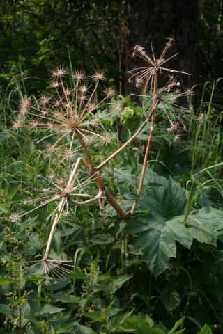 Image http://bioimages.vanderbilt.edu/lq/baskauf/w74869.jpg