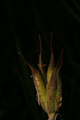 Image http://bioimages.vanderbilt.edu/lq/baskauf/w74914.jpg