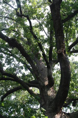Bicentennial Oak