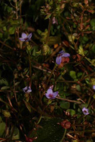 Image http://bioimages.vanderbilt.edu/lq/baskauf/w87935.jpg