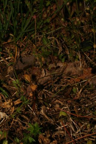 Image http://bioimages.vanderbilt.edu/lq/baskauf/w87976.jpg
