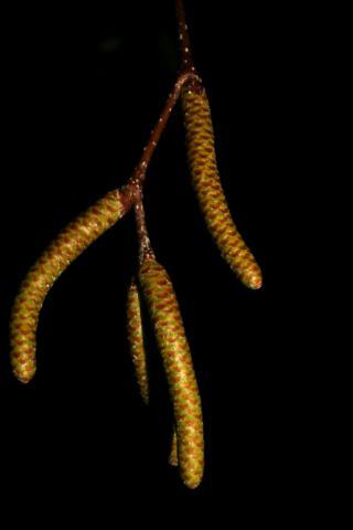 Image http://bioimages.vanderbilt.edu/lq/baskauf/w92420.jpg