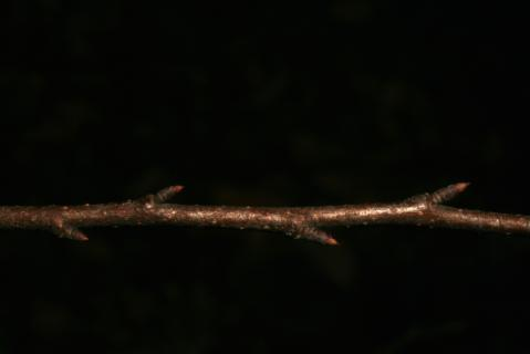 Image http://bioimages.vanderbilt.edu/lq/baskauf/w92460.jpg