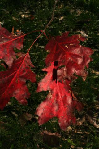 Image http://bioimages.vanderbilt.edu/lq/baskauf/w92469.jpg