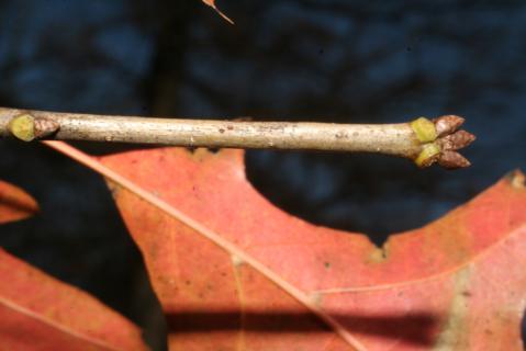Image http://bioimages.vanderbilt.edu/lq/baskauf/w92482.jpg