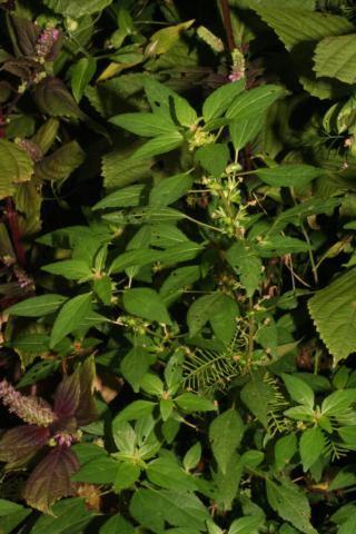 Image http://bioimages.vanderbilt.edu/lq/baskauf/w93895.jpg