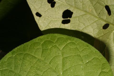 Image http://bioimages.vanderbilt.edu/lq/baskauf/w93931.jpg