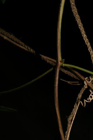 Image http://bioimages.vanderbilt.edu/lq/baskauf/w93959.jpg