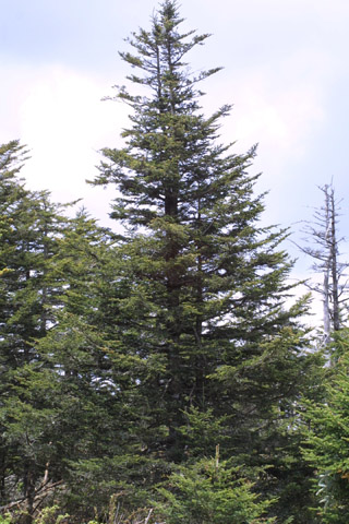 Image http://bioimages.vanderbilt.edu/gq/baskauf/gabfr--wpmature11421.jpg