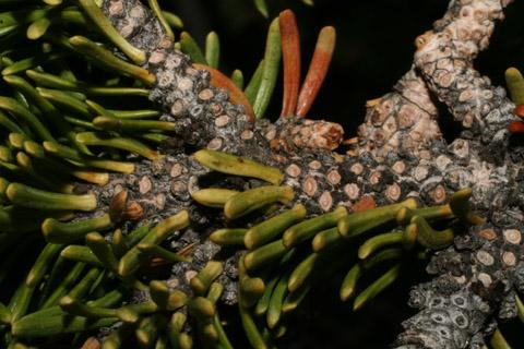 Image http://bioimages.vanderbilt.edu/lq/baskauf/wabla--tw60109.jpg