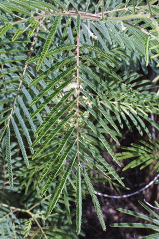 Image http://bioimages.vanderbilt.edu/lq/baskauf/wacan--lf14862.jpg